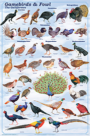 gamebirds and fowl